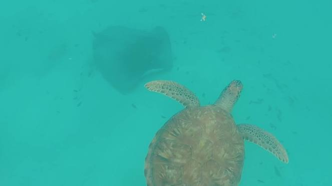 Stingray and turtle
